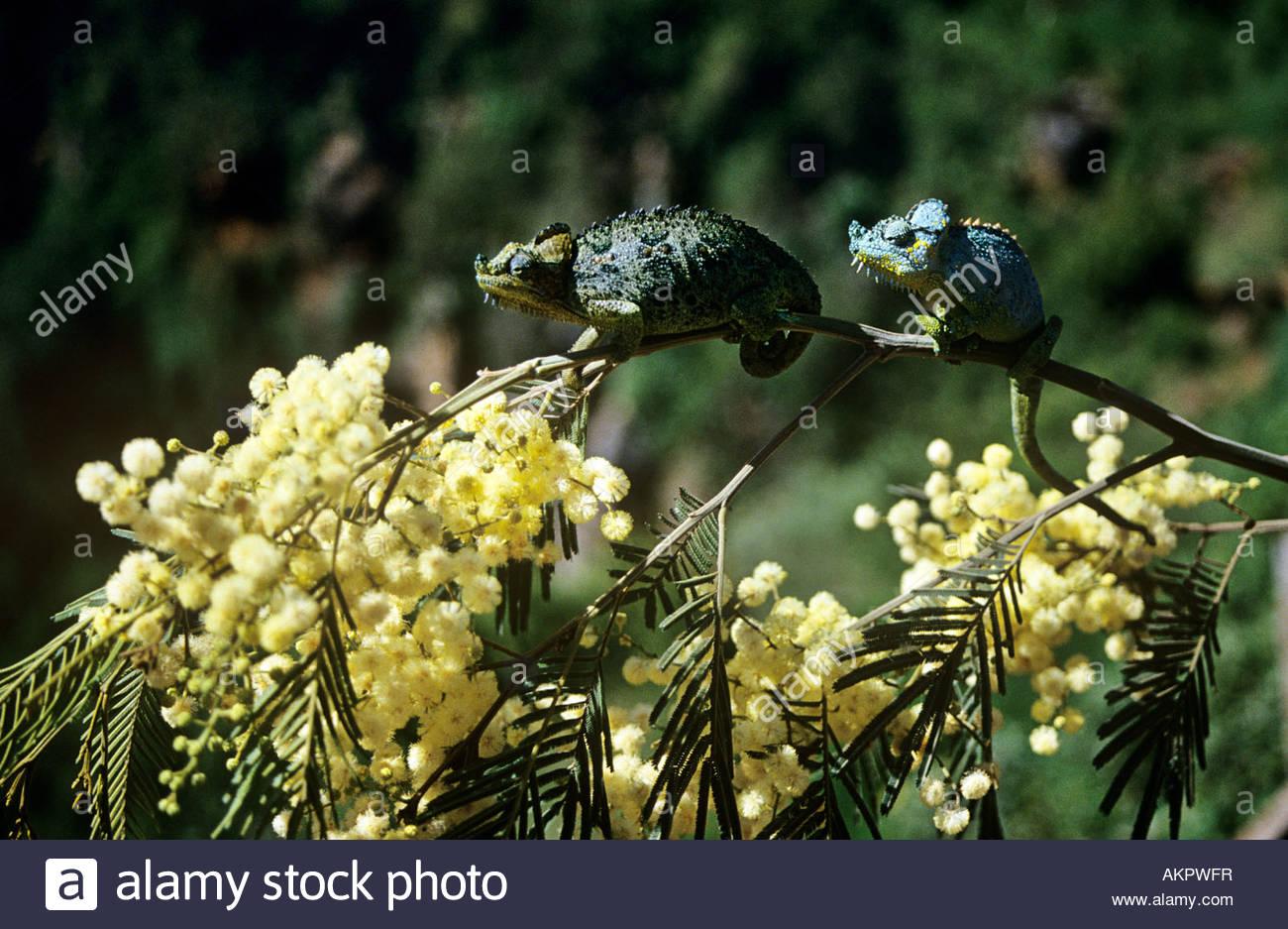 Deux caméléons Photo Stock