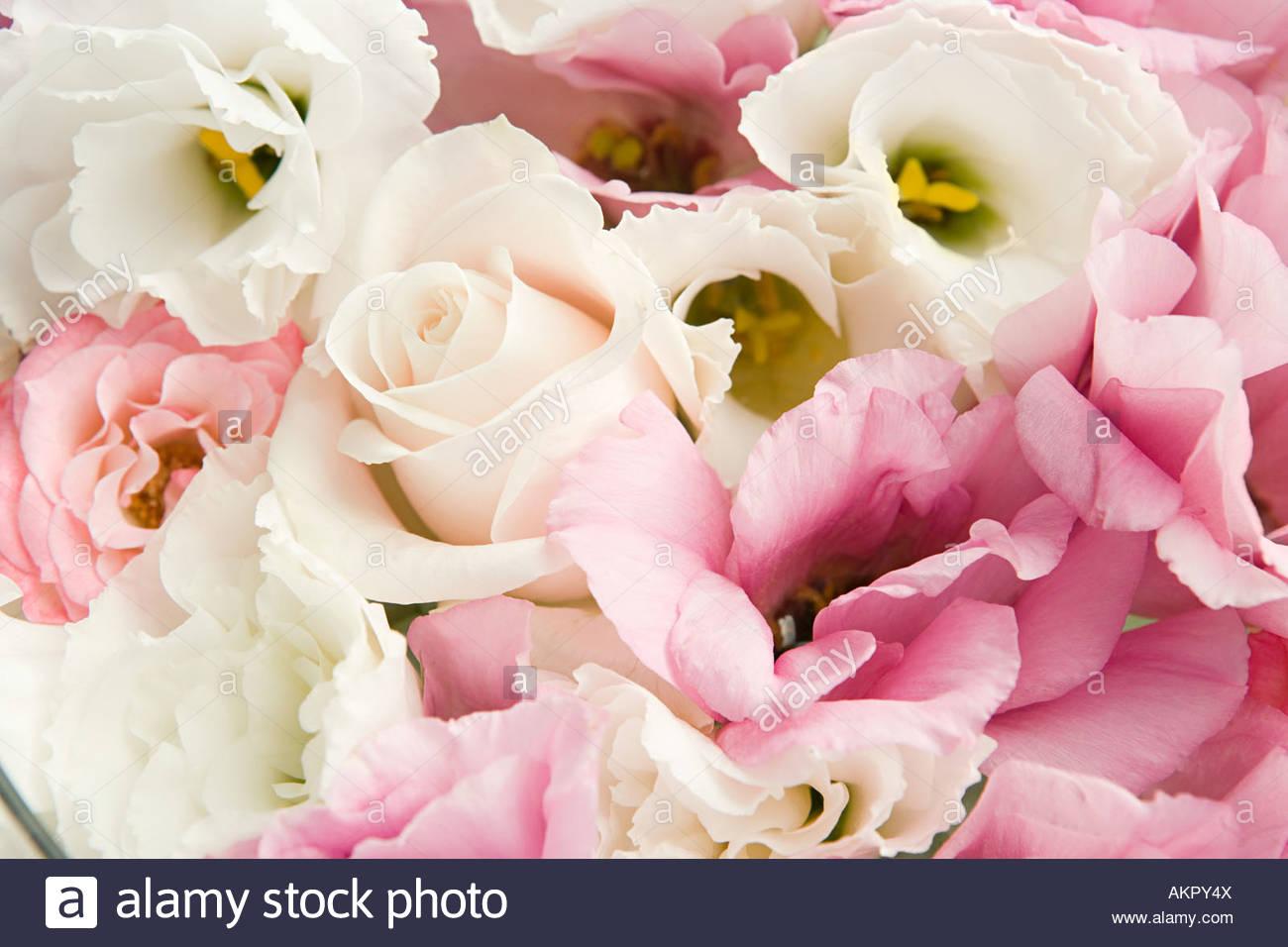 Close up de pétales de rose Photo Stock