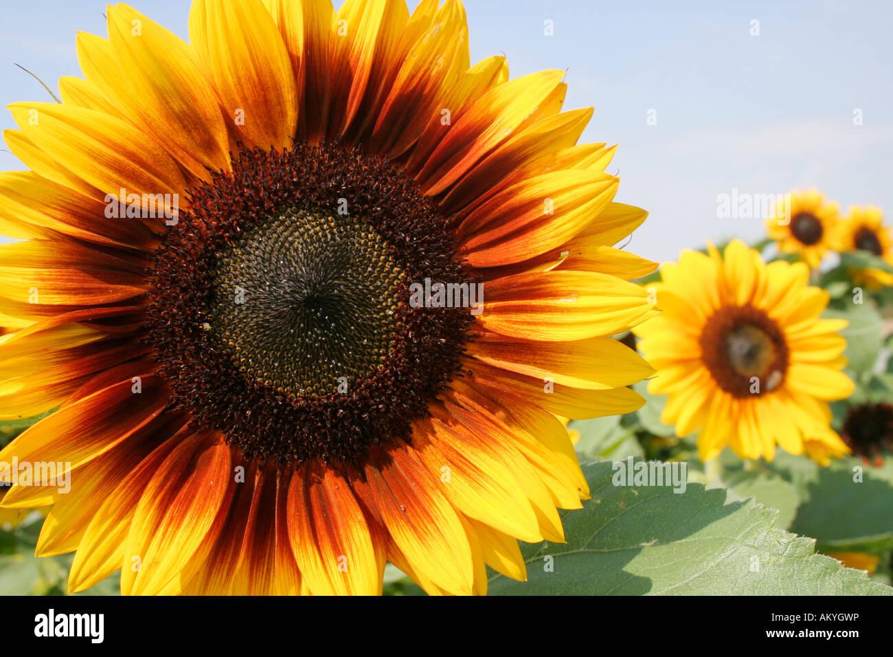 Le tournesol (Helianthus annuus) Photo Stock