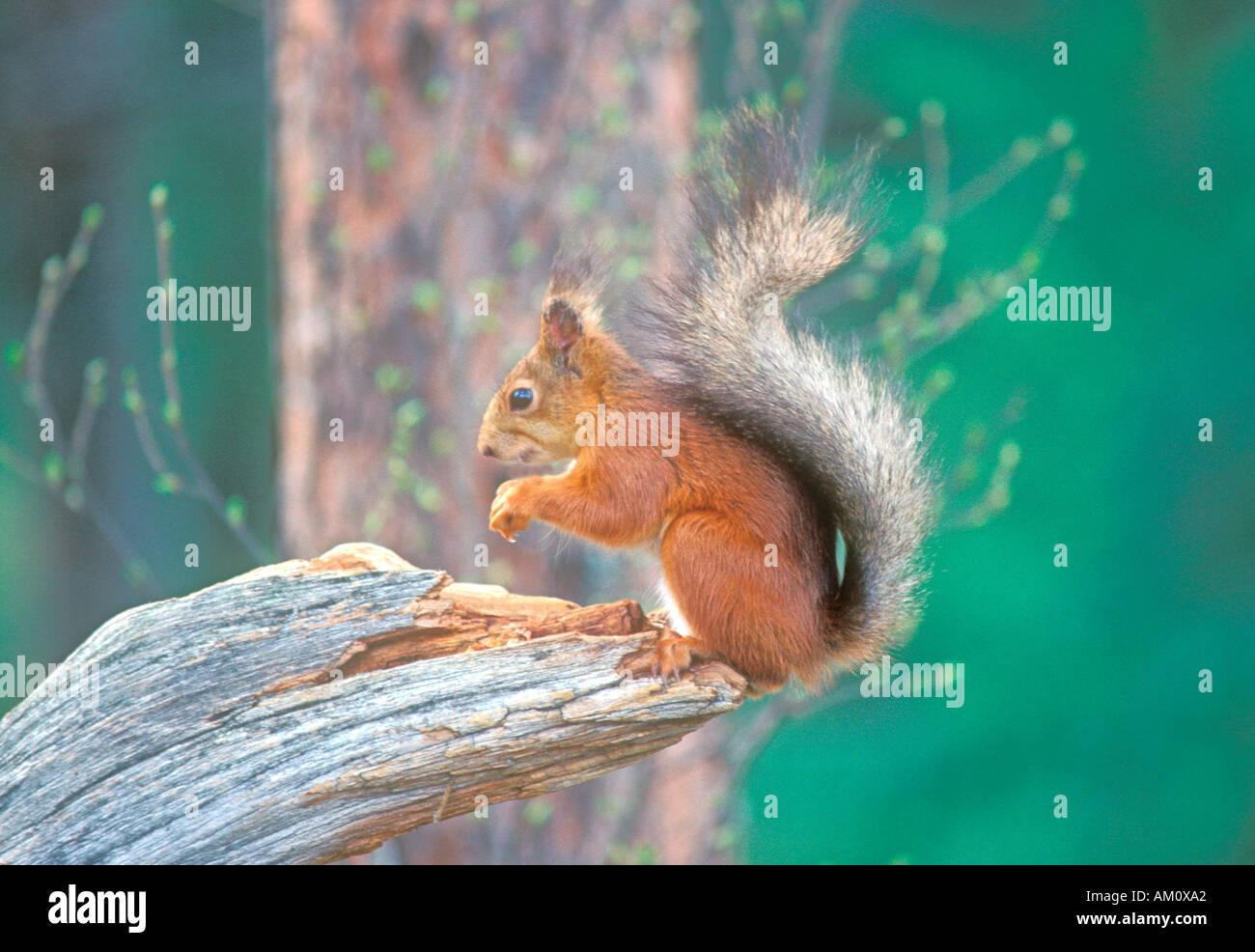 Debout sur une souche d'arbre Finlande Photo Stock