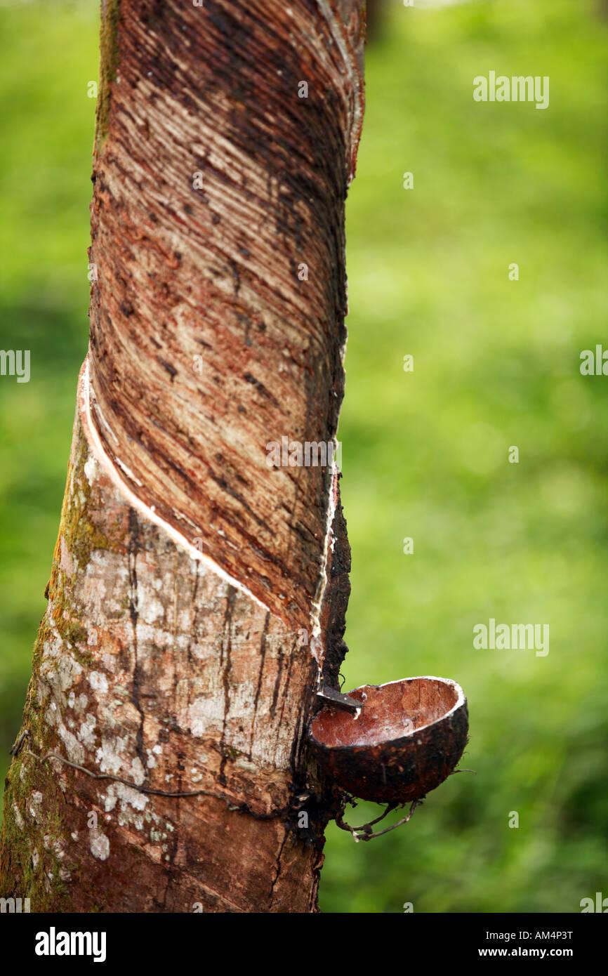 d 39 une plantation de caoutchouc au sri lanka avec les arbres exploit pour latex qui coule vers. Black Bedroom Furniture Sets. Home Design Ideas