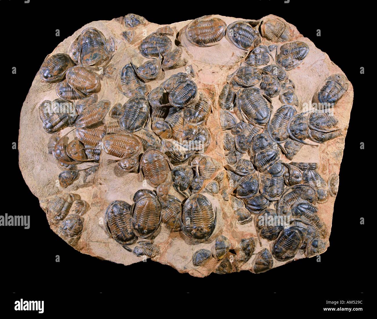 """Une grande feuille de rock avec beaucoup de trilobites dans elle. Les Trilobites """"trois-ont disparu des lobes arthropodes qui forment la classe Trilobita. Photo Stock"""