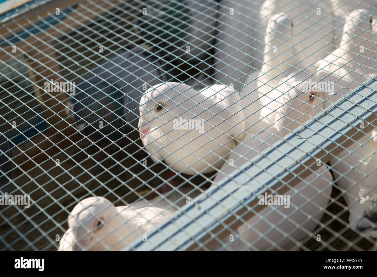 Colombes blanches dans une cage avant une release 1 Décembre 2007 Photo Stock