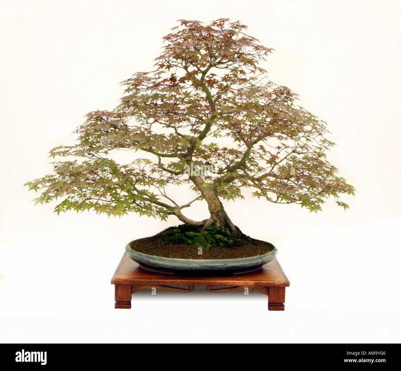 L'érable du Japon Acer palmatum Deshojo bonsai style vertical informel chinois bonzai japonais Chine Japon Moyen-orient oriental de l'ori Banque D'Images