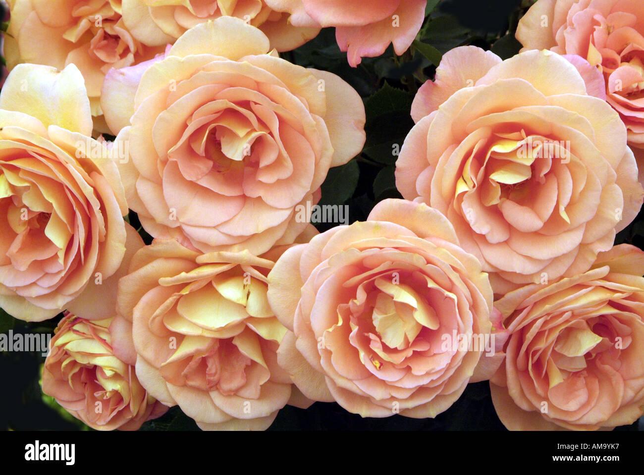 Begonia fleur pétale pot tête pastel tropical exotique plante tubéreuse lampe à effet froissé de rhizomes cultivés en serre chaude Banque D'Images
