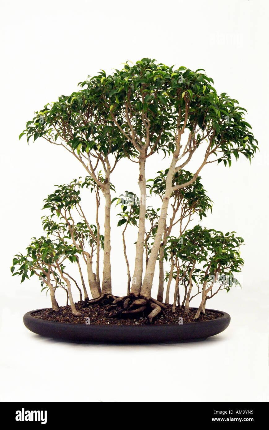 Bonzai bonsai Chinese Chine Japon orient orient oriental de l'Est Banque D'Images