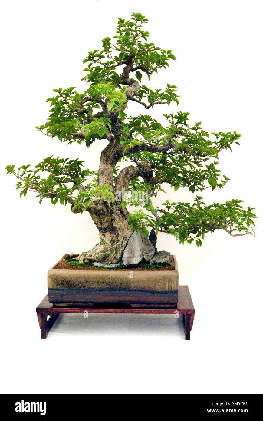 Modèle vertical informel bougainvillea 1920 bonzai bonsai Chinese Chine Japon orient orient oriental de l'Est Banque D'Images