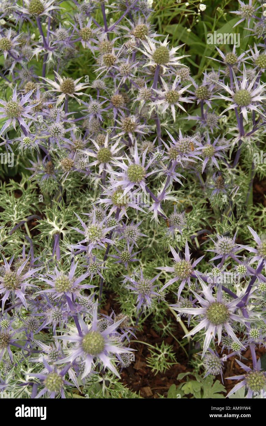 Eryngium bourgatii chardon bleu oxford holly mer desséchée arides sèches résistantes à la sécheresse à faible pluviométrie plage côtière wat sel Banque D'Images
