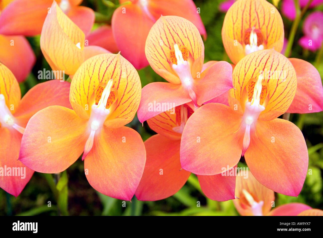 Vive lueur lumineuse jour fleur macro close up tête veine pétale jaune orange rose manette couleur couleur England UK United Banque D'Images