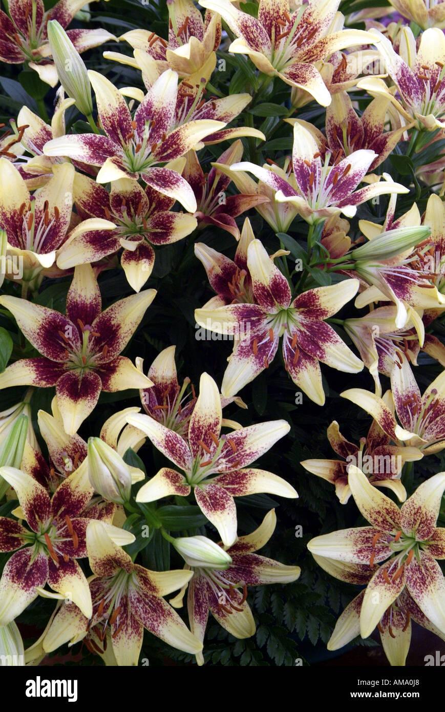 Lily white purple fleurs jardin plantes du genre frontière variété chef bud bunch England UK Royaume-Uni GB Grande-bretagne EU Banque D'Images