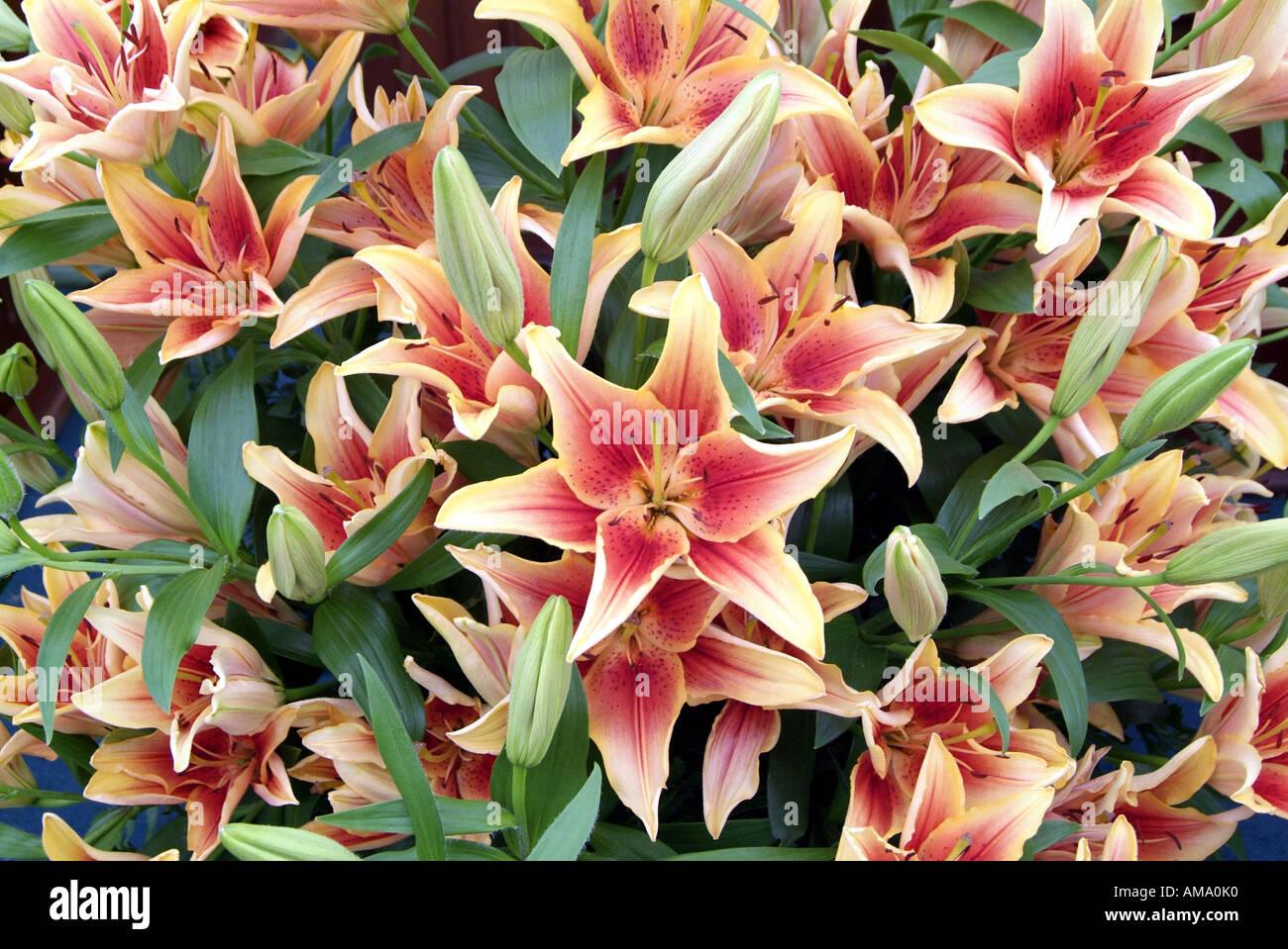 Lily orange rouge fleur jardin plante genre frontière variété chef bud bunch England UK Royaume-Uni GB Grande-bretagne EU Banque D'Images