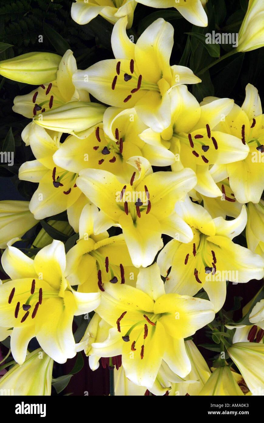 Lily fleur jaune espèce variété jardin frontière chef bud bunch England UK Royaume-Uni GB Grande-bretagne EU Banque D'Images
