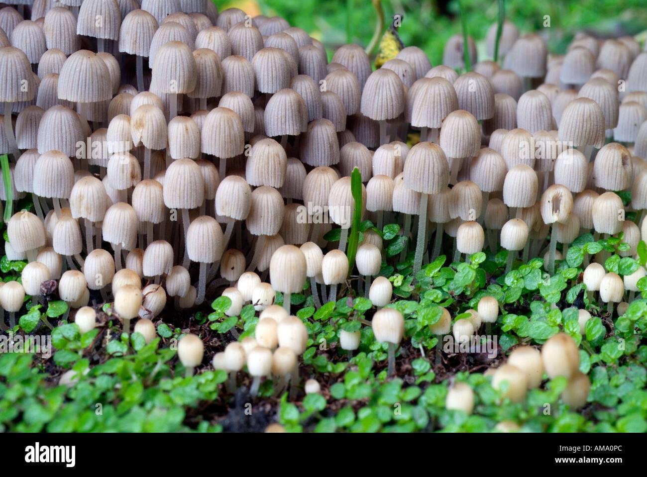 Coprinus disseminatus chapeau fée England UK Royaume-Uni GB Grande-bretagne UE Union Européenne Europe champignon Banque D'Images