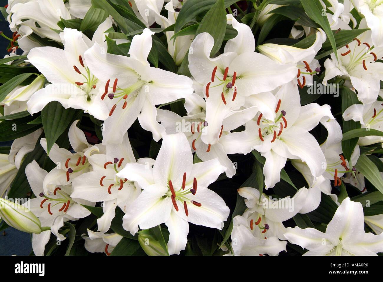 Lily white genre frontière fleurs jardin divers chef bud bunch England UK Royaume-Uni GB Grande-bretagne Union Européenne UE Banque D'Images