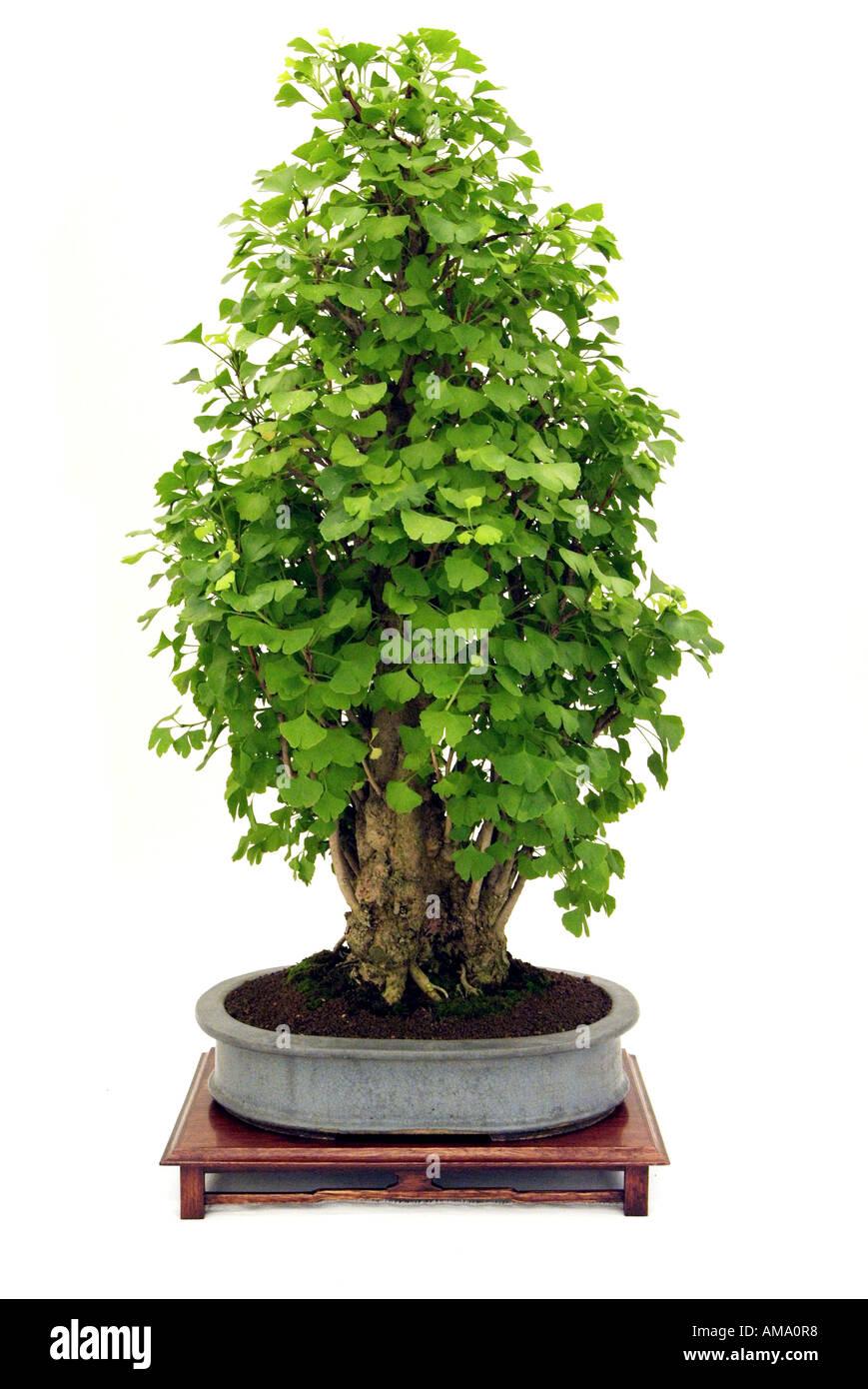 Maidenhair ginko biloba style flamme 1948 bonzai bonsai Chinese Chine Japon orient orient oriental de l'Est Banque D'Images