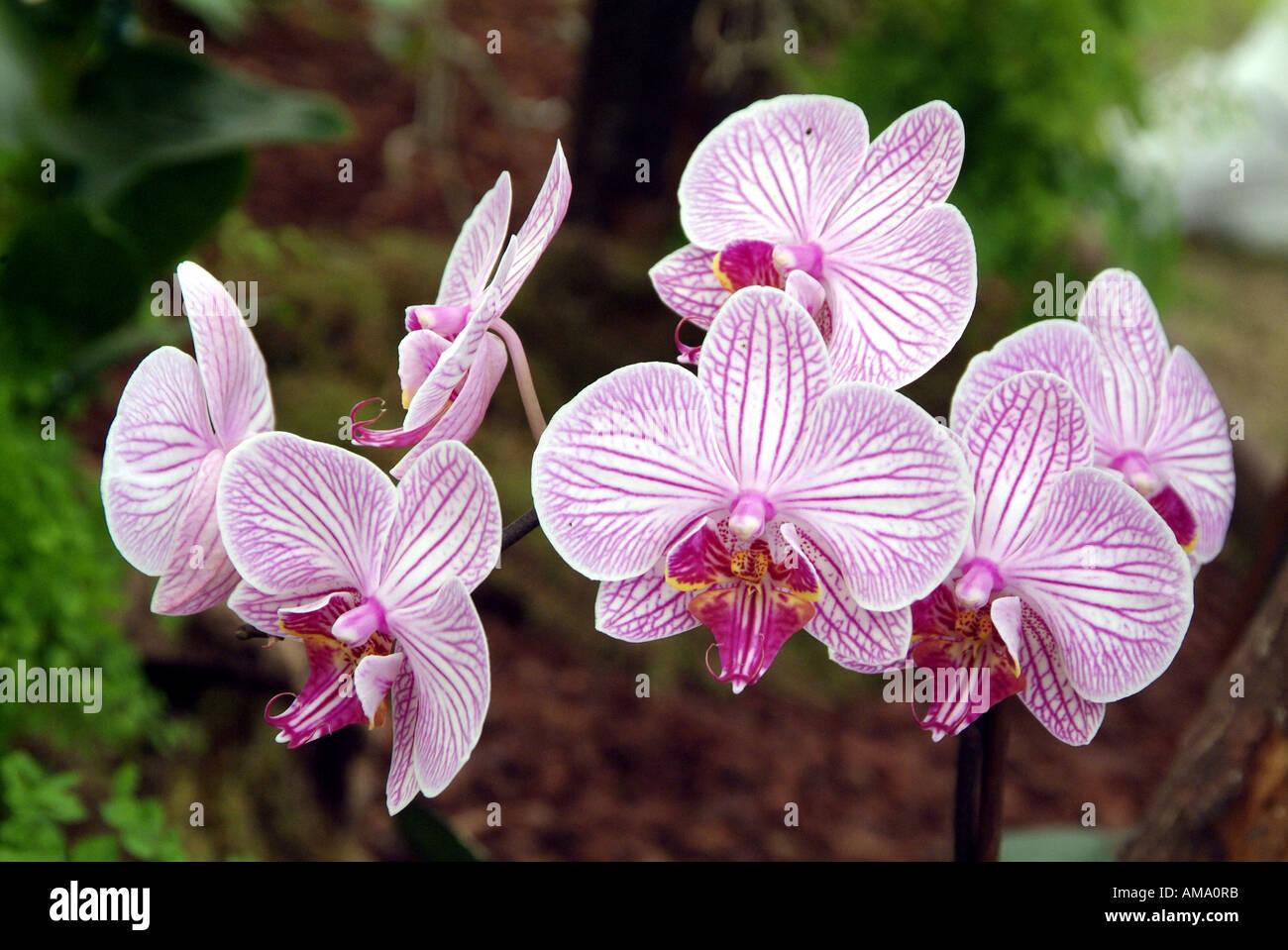 Phalaenopsis orchidée épiphyte bistro malibu hothouse terrestre fleur floral tropical exotique de l'usine de pulvérisation de l'Est Moyen-Orient jungle Banque D'Images