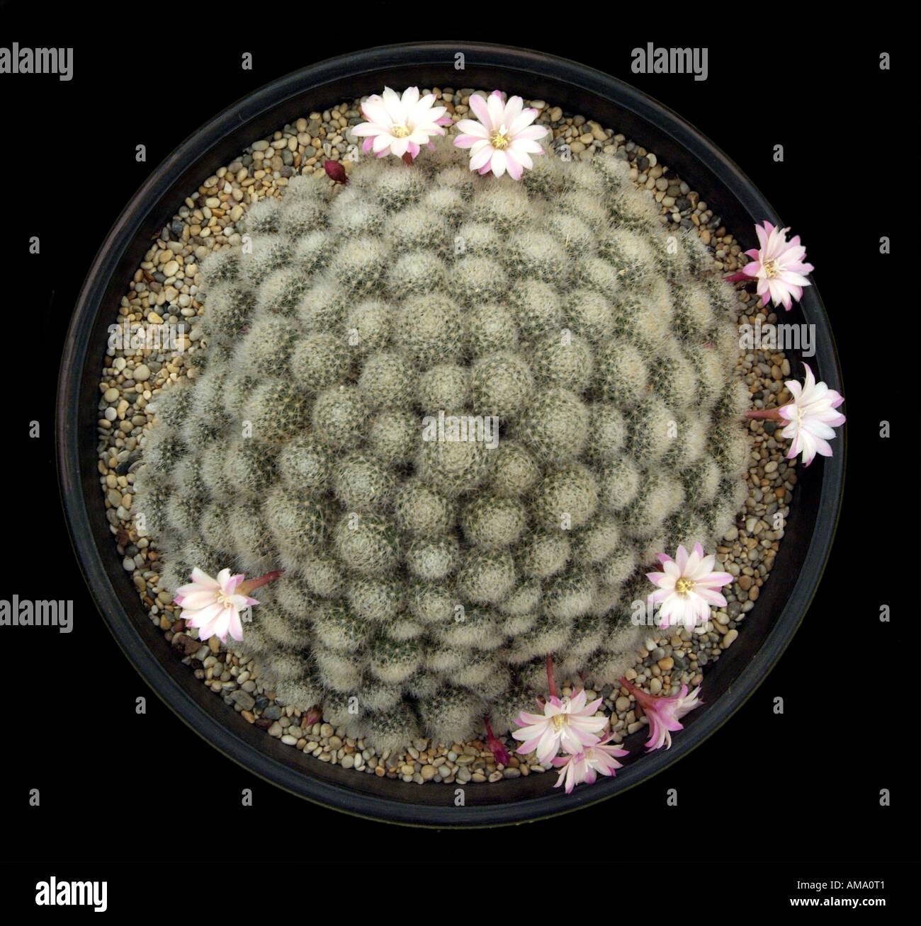 Mammillaria cactus cacti plumeuses blanc fleur flore espèces dos serre pot en terre cuite cultivée soulevées Banque D'Images