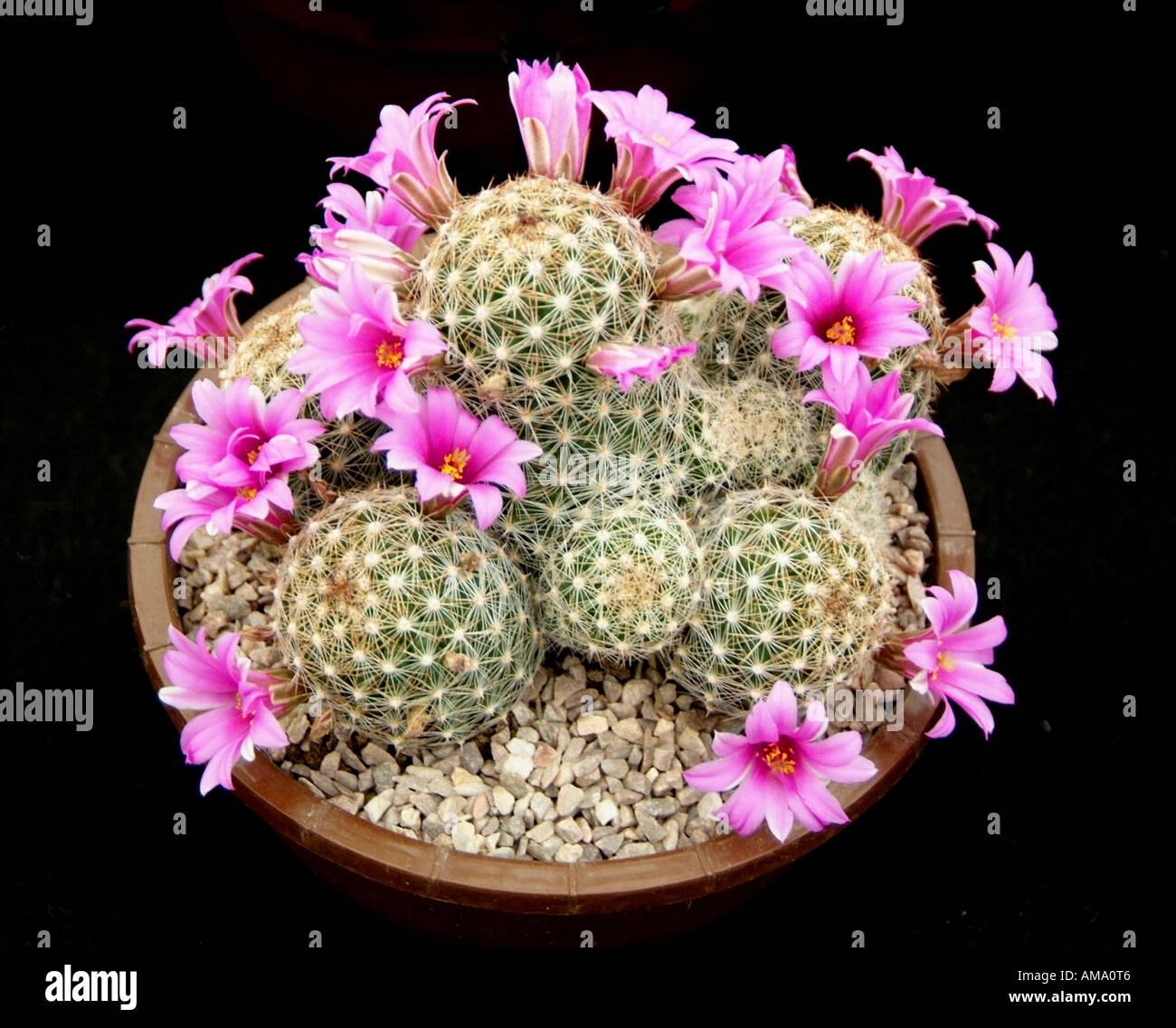 Mammillaria microcarpa plantes cactus cactus rose fleur flore rachis cultivée soulevées cultivées en serre de plantes en terre cuite po Banque D'Images