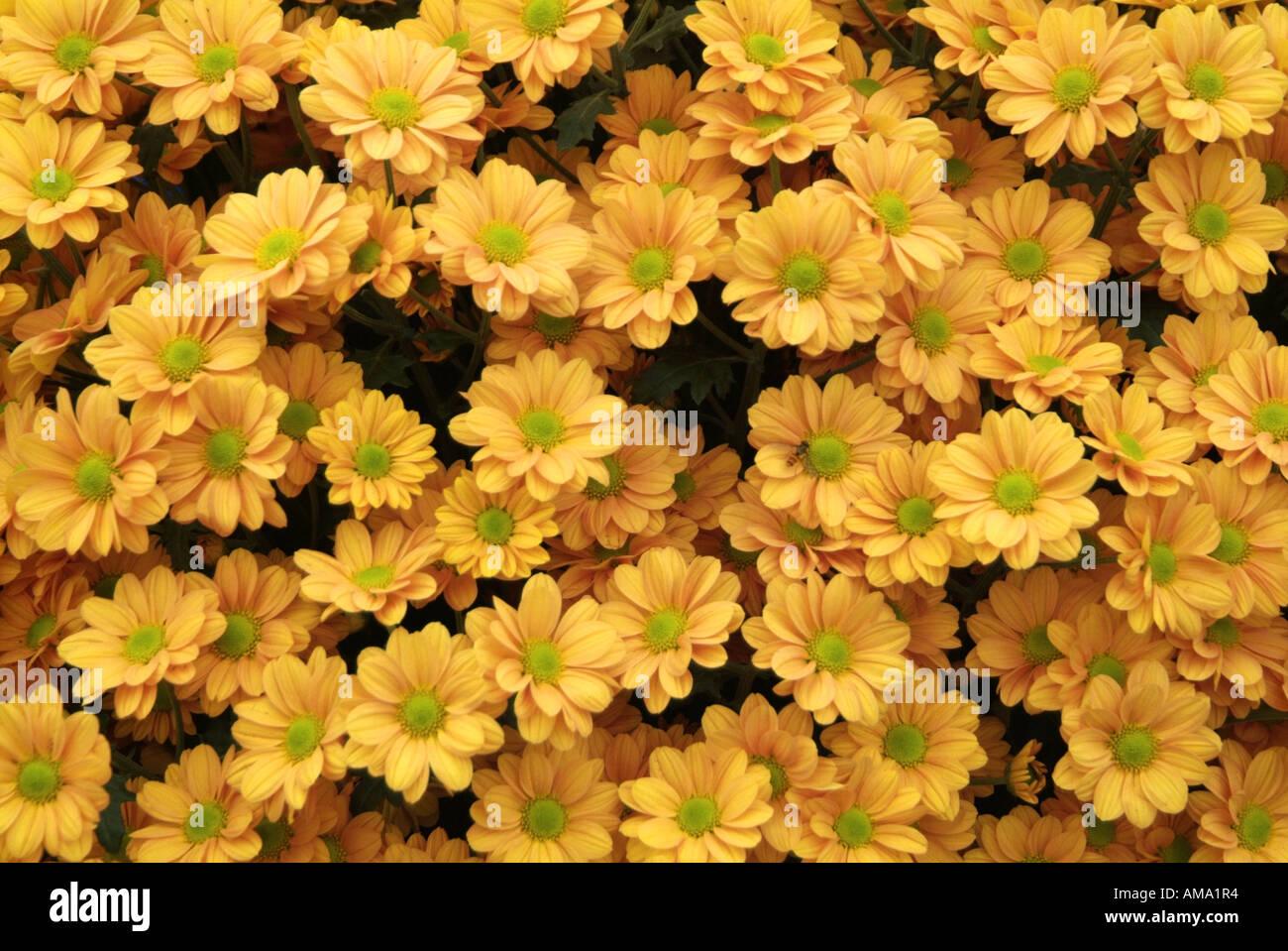 Chrysanthème pulvérisation genre frontière fleur jardin variété chef bud l'ambre jaune Banque D'Images