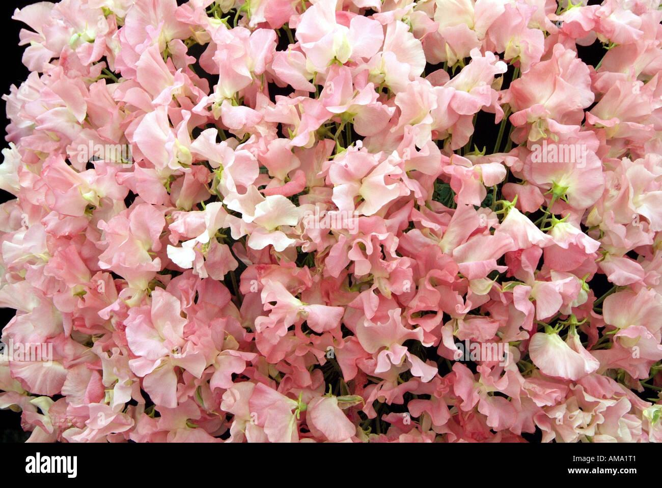 Tas de pois sucré rose masse Lathyrus odoratus annuelle Banque D'Images