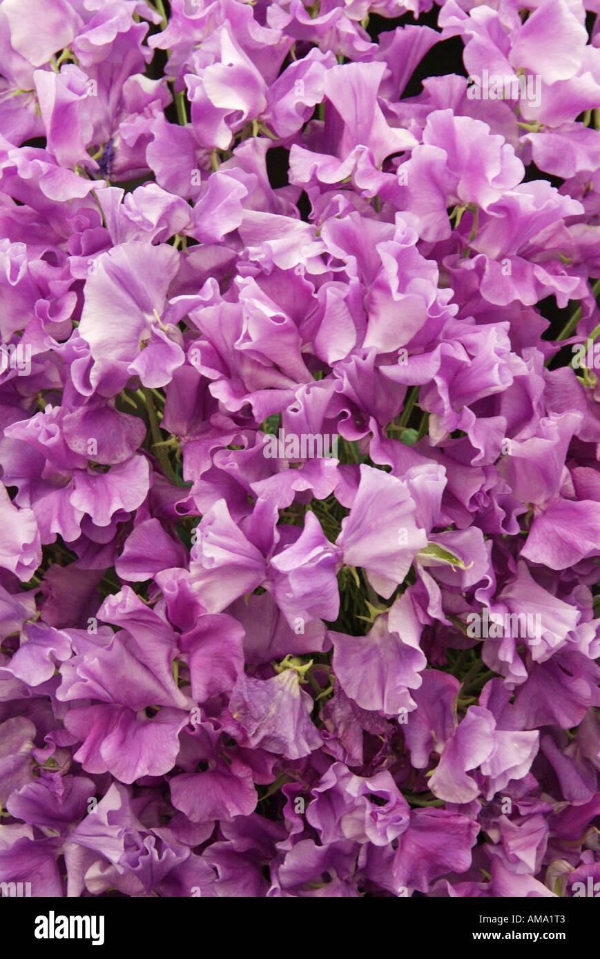 Bouquet de lilas de masse annuelle Lathyrus odoratus pois de Banque D'Images