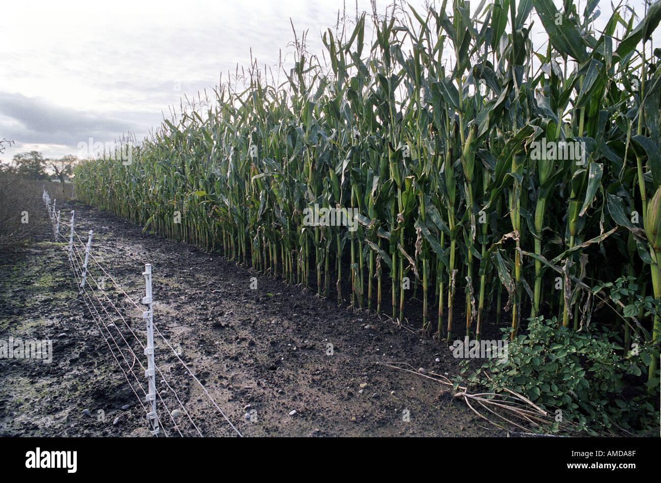 De plus en plus de maïs génétiquement modifié dans un champ dans le Shropshire en Angleterre Photo Stock
