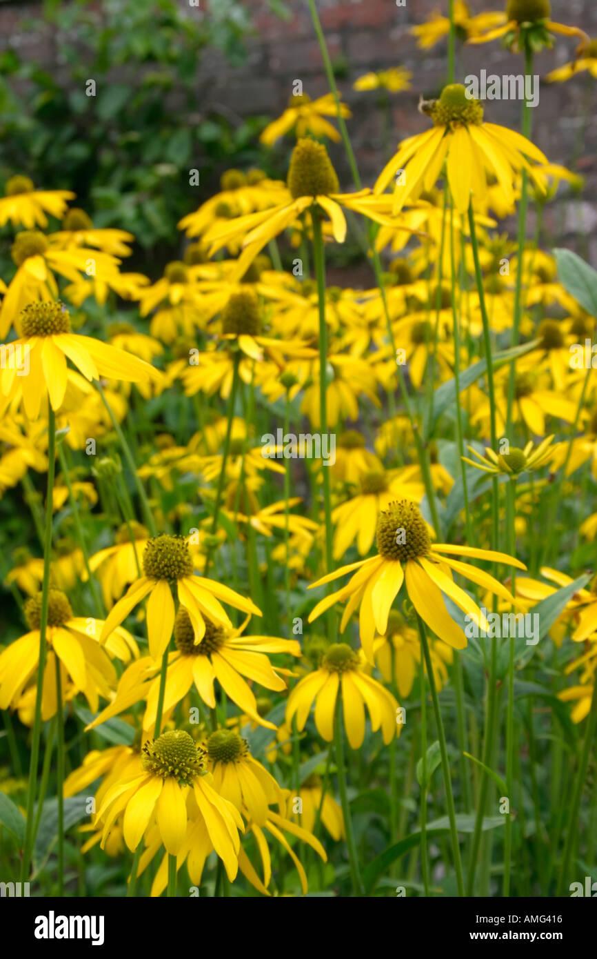 Fleurs jaunes de l\'été jardin fleurs plantes vivaces Rudbeckia ...