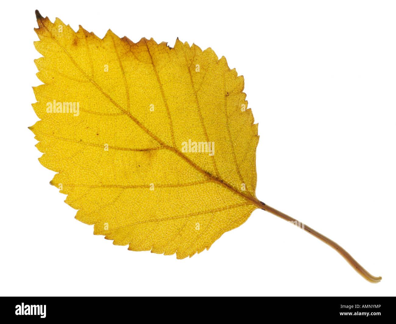 Feuille d'automne. Seule feuille d'automne contre blanc. Couleurs et de textures naturelles. Photo Stock