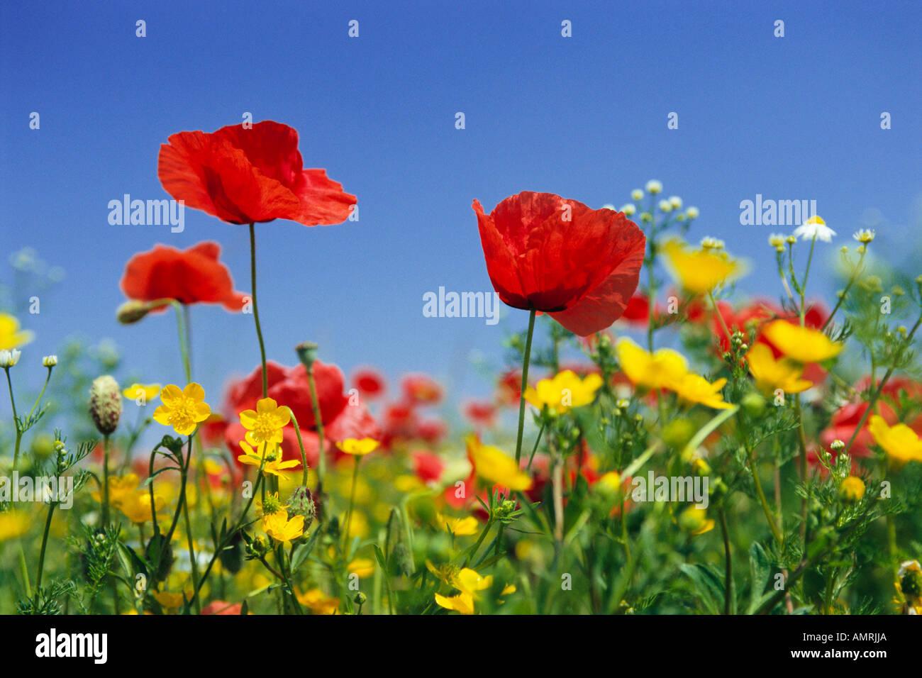 Pré de fleurs Banque D'Images