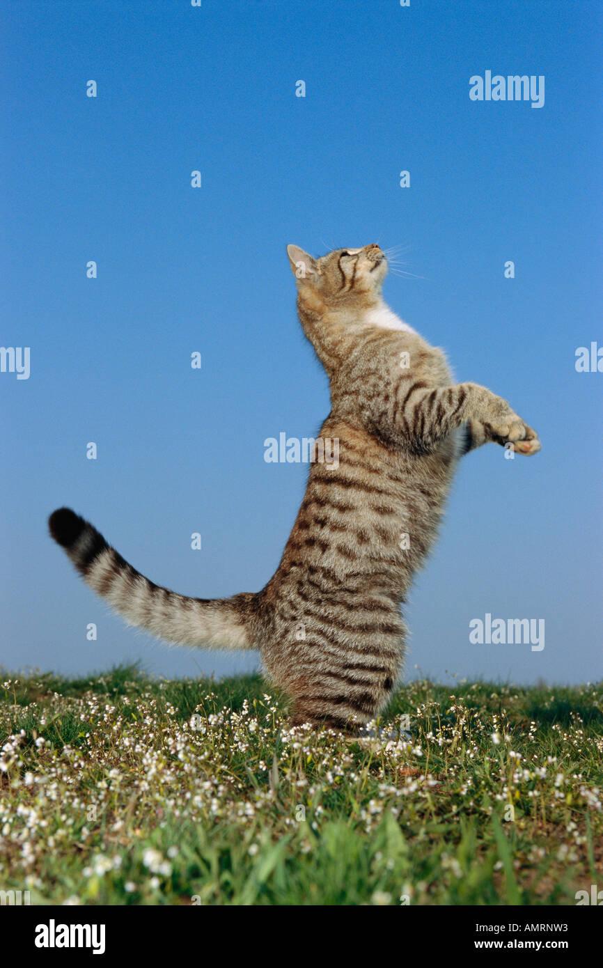 Debout sur ses pattes de chat Banque D'Images
