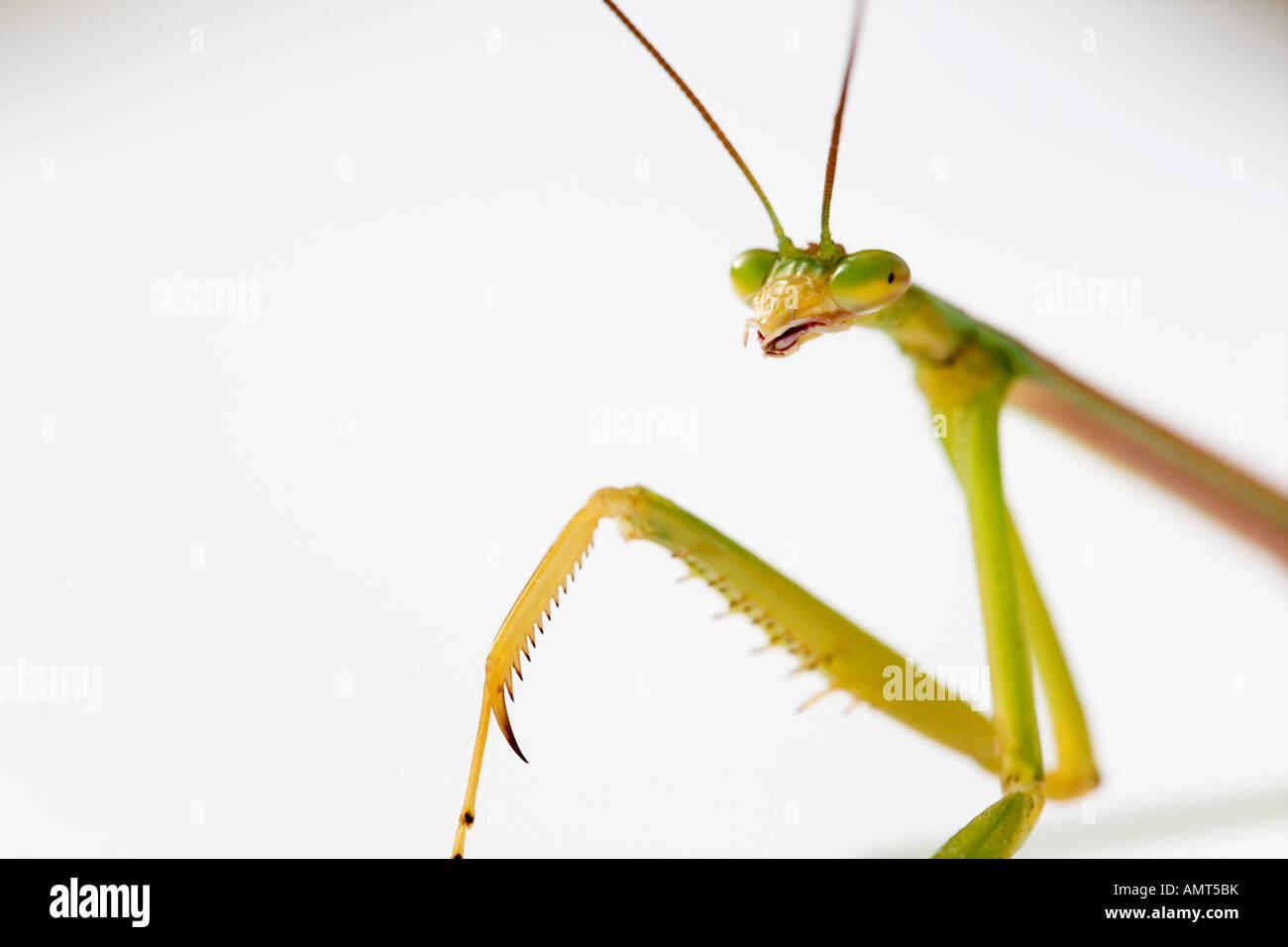 Praying mantis portrait on white Photo Stock