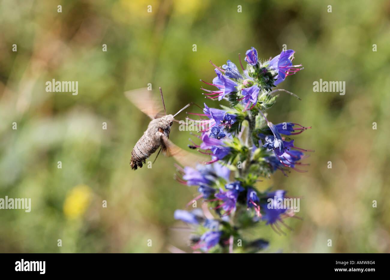 Humming-bird Hawk-moth (Macroglossum stellatarum) sur (Vipérine commune Echium vulgare), Allemagne Photo Stock