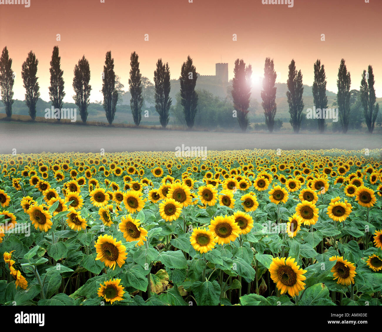 Go - LEICESTERSHIRE : champ de tournesol à Breedon sur la Colline Photo Stock