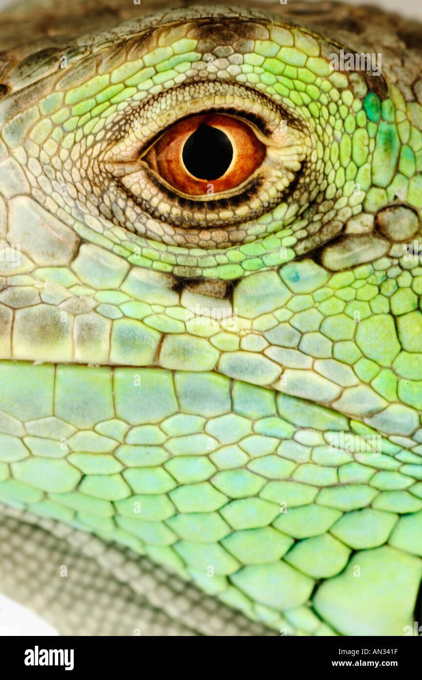 Iguana iguana iguane vert commun d'Amérique centrale et du Sud Banque D'Images