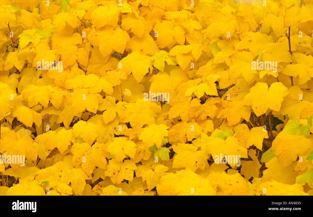 Bush rempli avec les feuillus feuilles jaunes Photo Stock