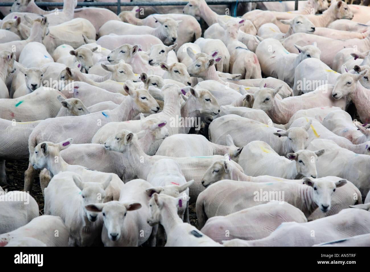 Moutons dans un enclos au Royal Welsh Show à Builth Wells au Pays de Galles qu'ils viennent d'être tondus dans le concours de la tonte des moutons Banque D'Images
