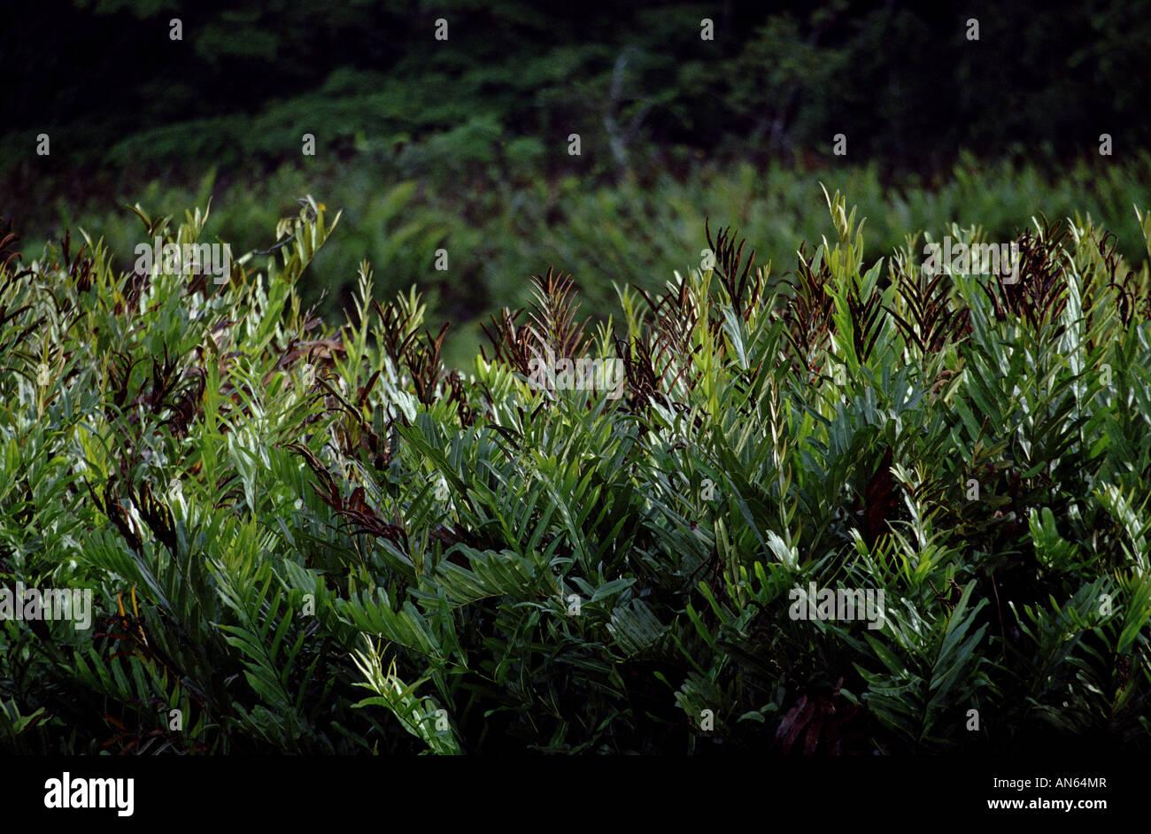 Forêt tropicale dense de la végétation dans le parc national de Soberania, République du Panama. Banque D'Images