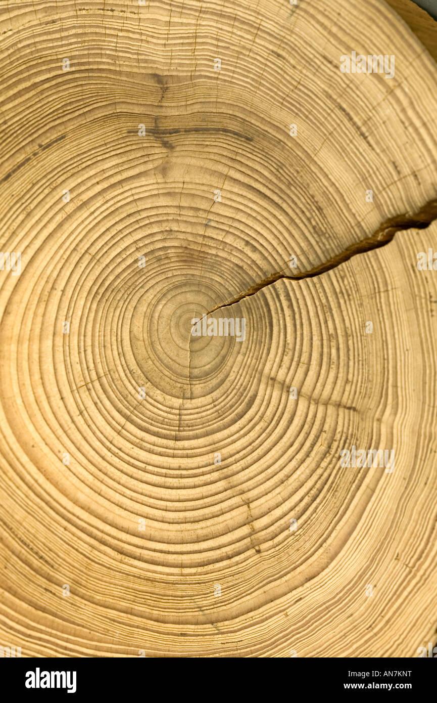 Une section transversale de couper une connexion pour afficher les anneaux de croissance annuels de cet arbre avec Photo Stock