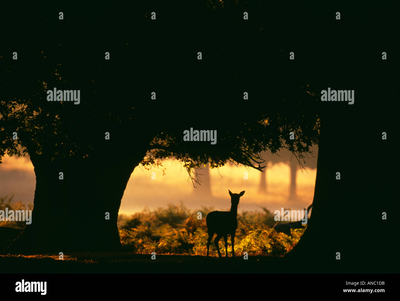Daims Cervus dama doe à l'aube nouvelle Forêt Hampshire UK automne Photo Stock