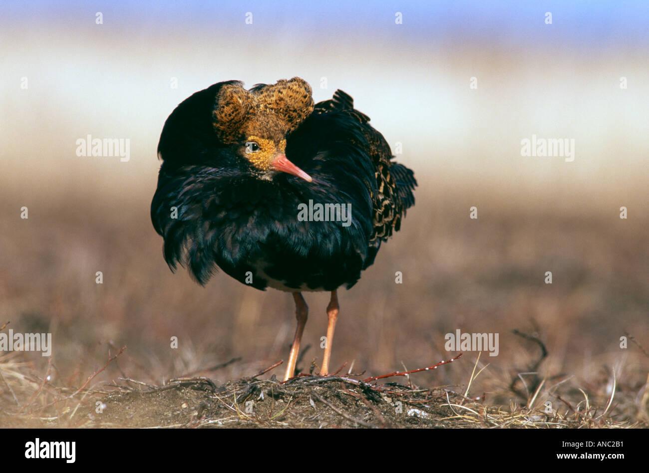 Ruff Philomachus pugnax mâle en plumage nuptial à lek Finlande spring Photo Stock