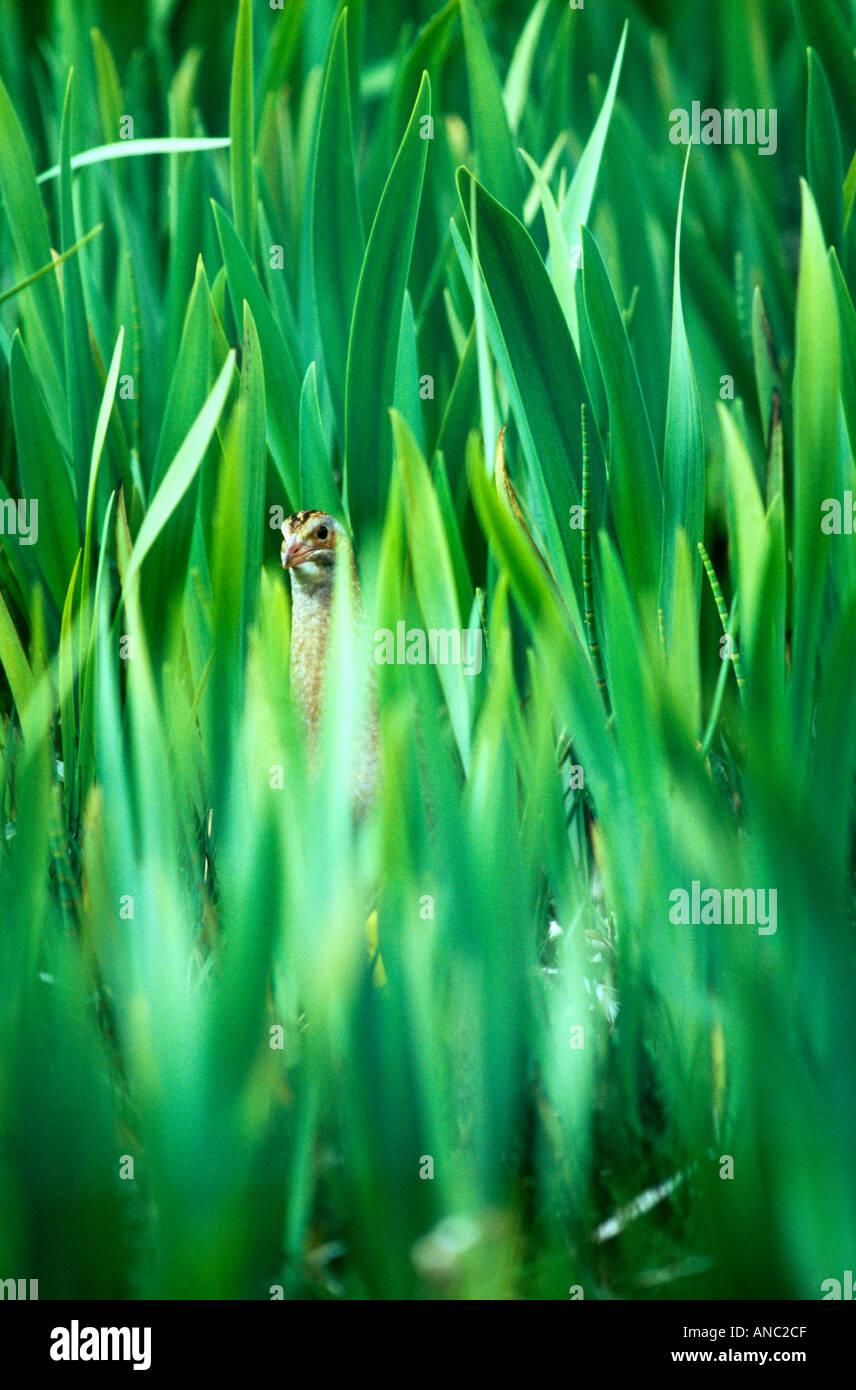 Râle des genêts Crex crex dissimulé dans Iris bed Balranald RSPB réserve North Uist Hébrides extérieures en Écosse printemps Photo Stock