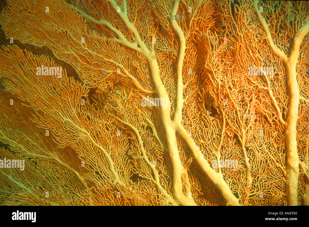 Ventilateur gorgones Subergorgia mollis ou Annella mollis Mili Pacifique Nord Îles Marshall Photo Stock