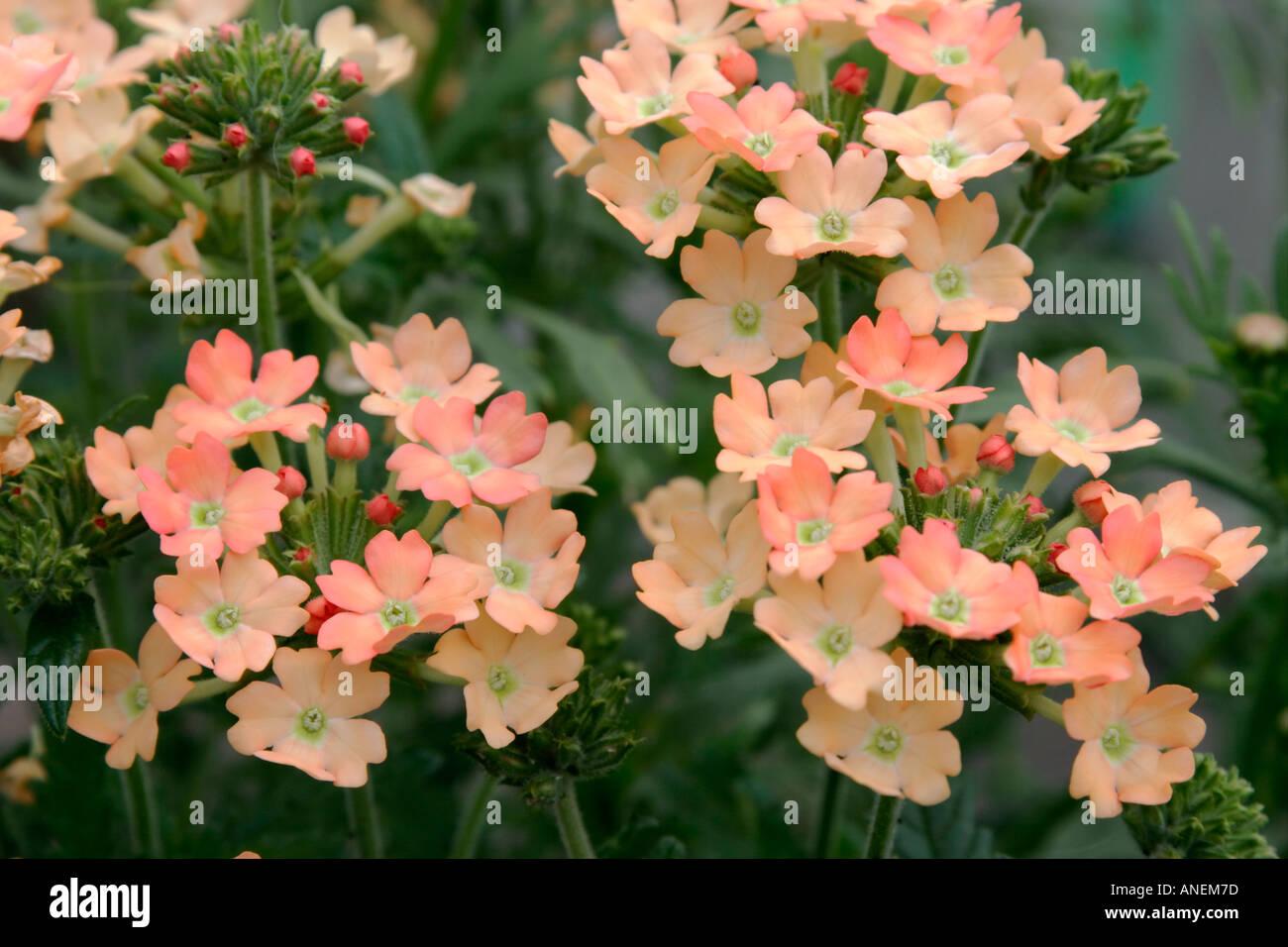 Fleurs de jardin annuel plante Verveine Pêche Banque D\'Images, Photo ...
