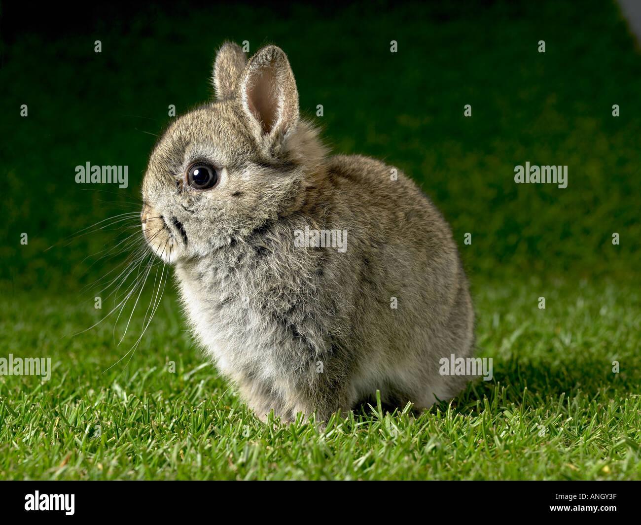 Jeune lapin Photo Stock
