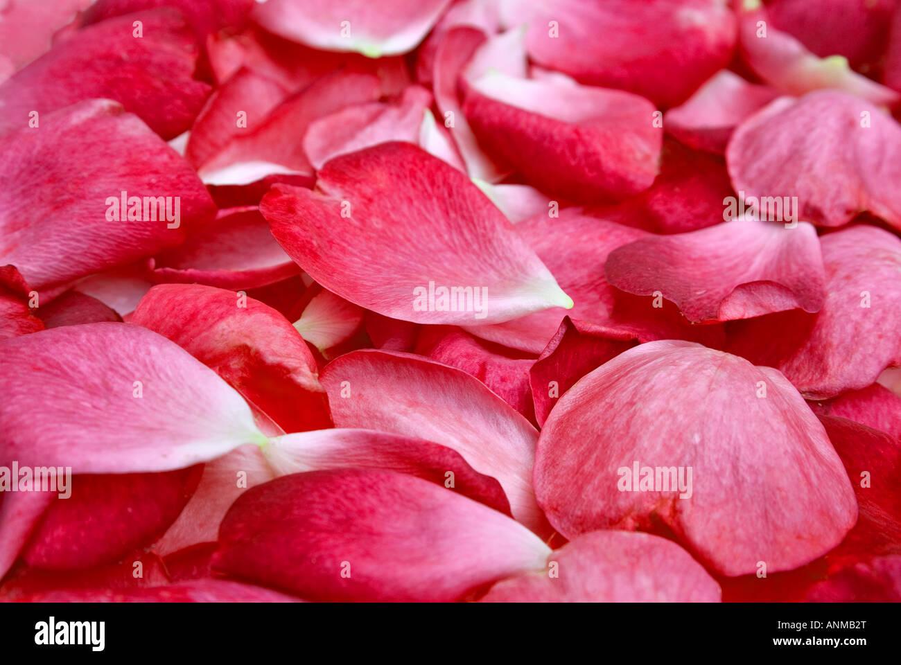 Belle lumière rose pétale rouge image en arrière-plan Photo Stock