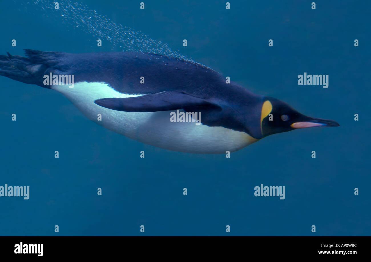 Manchot royal Aptenodytes patagonicus natation Banque D'Images