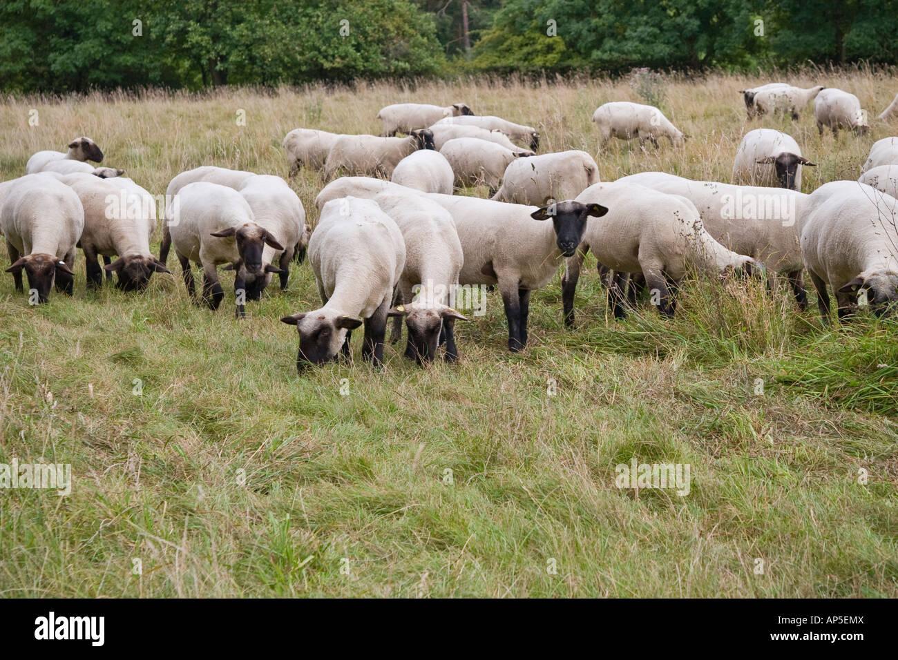 Troupeau de moutons mouton à tête noire allemande dans un vert Pâturage La viande et la laine de Photo Stock