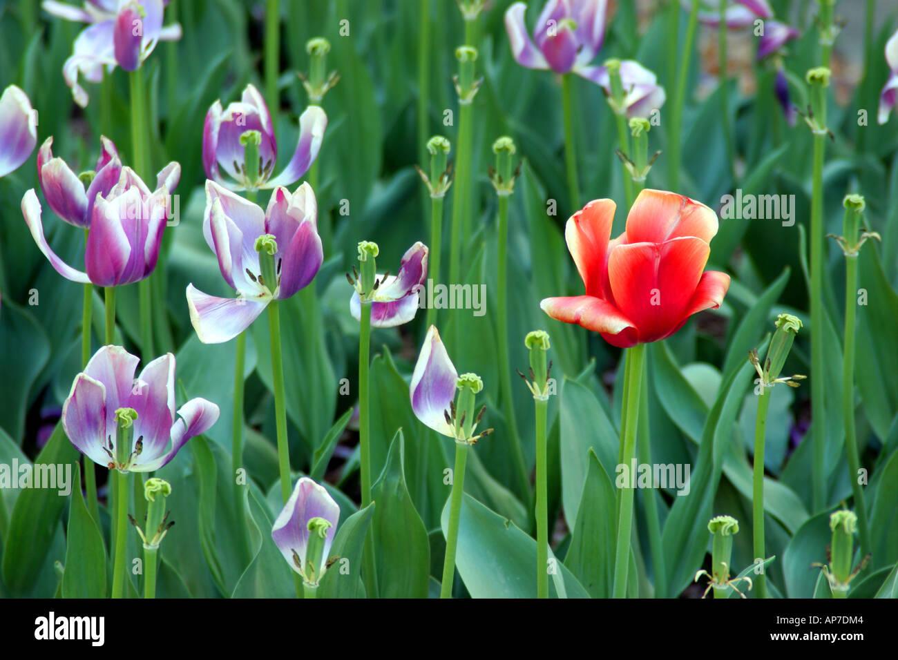 Les tulipes, le cimetière national d'Arlington Banque D'Images