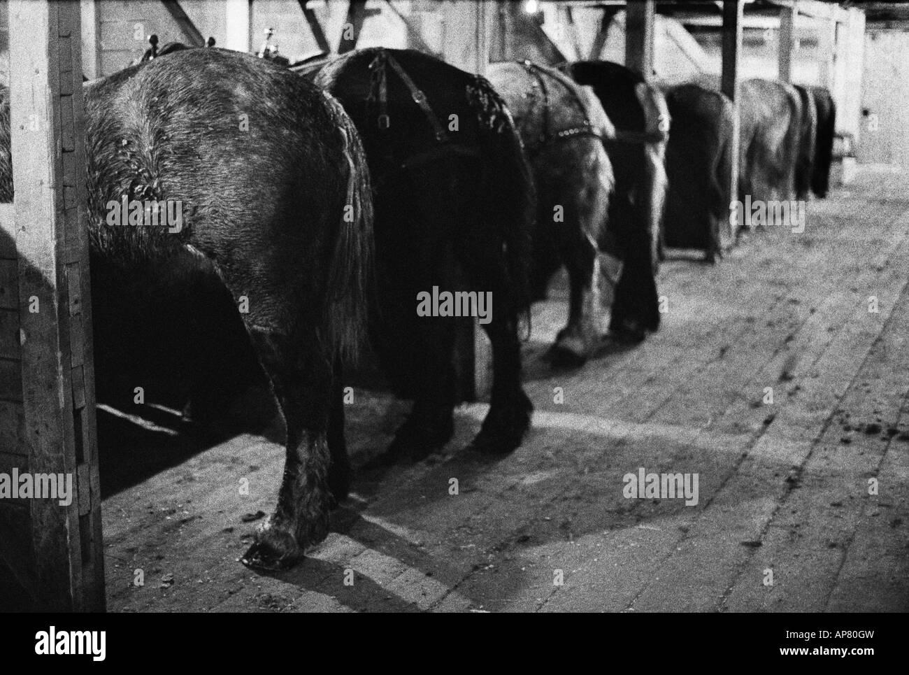 Des chevaux de trait dans une grange, North Park, Colorado Photo Stock