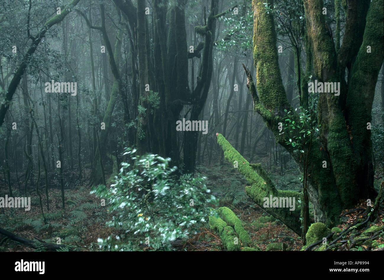 Les arbres en forêt, Parc National de Garajonay, La Gomera, Canary Islands, Spain Banque D'Images